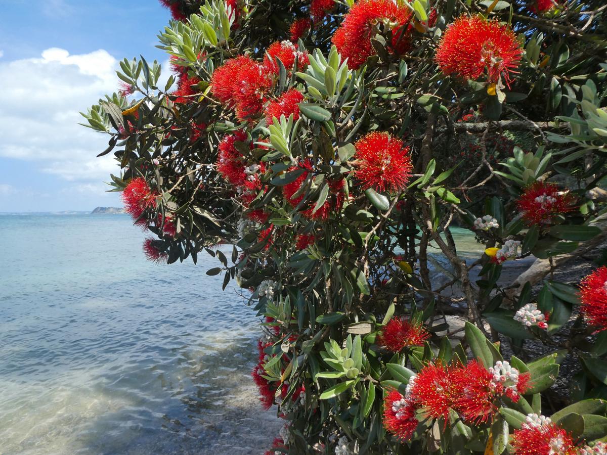 Pohutukawa, Tiritiri Matangi Island