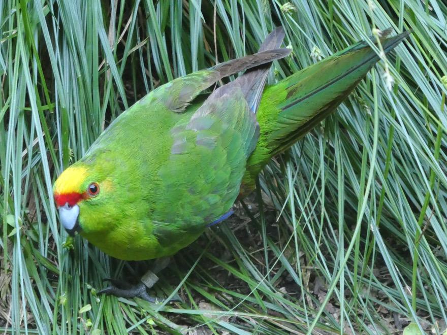 Kakariki (Yellow-Crowned Parakeet)