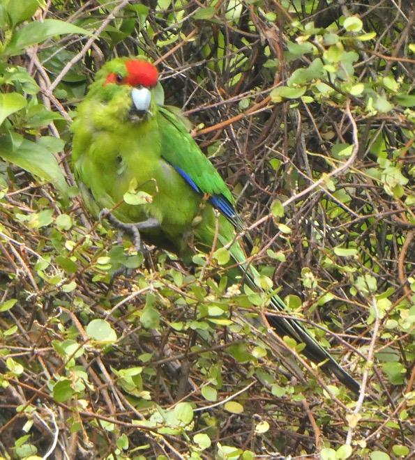 Kakariki (Red-Crowned Parakeet)