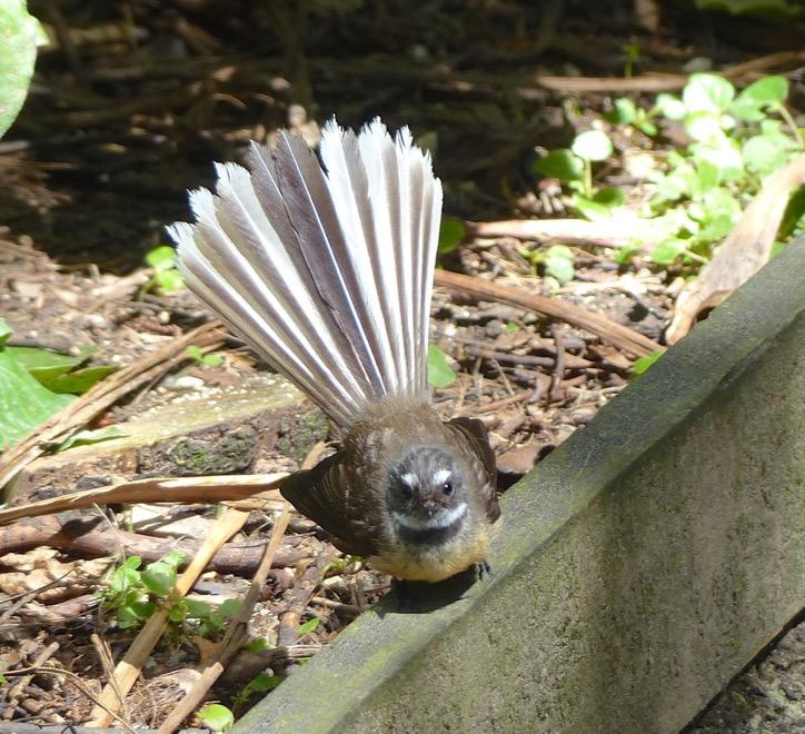 Piwakawaka (Fantail)