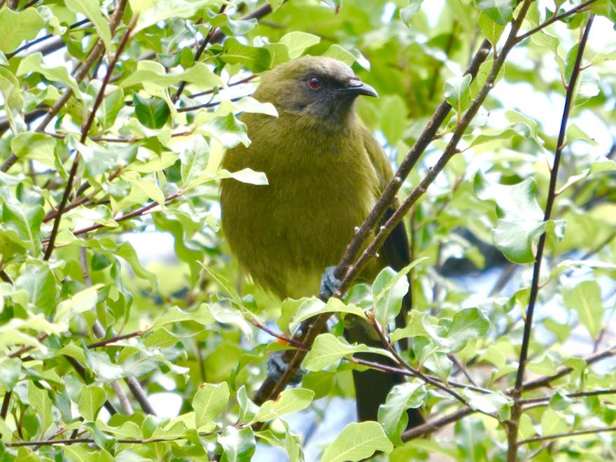 Korimako (Bellbird)