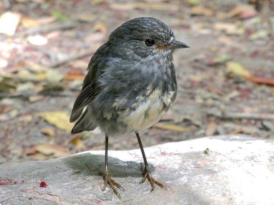 Toutouwai (NZ Robin)