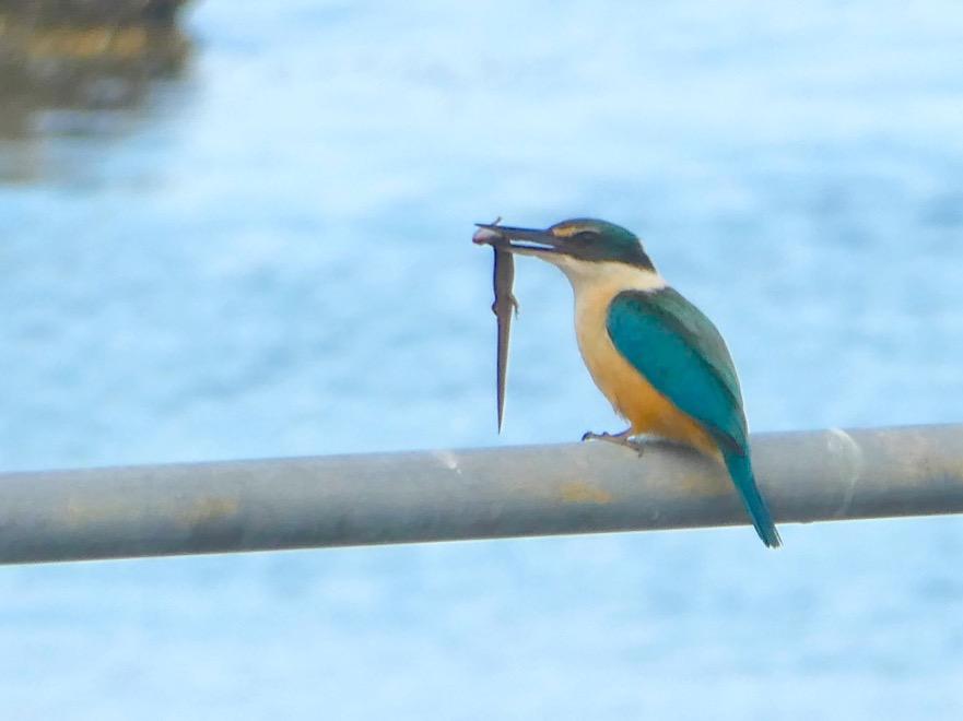 Kotare (Kingfisher)