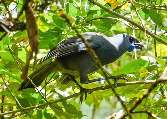 Kōkako (Photo by Nora Correa Jimenez)