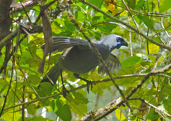Clambering Kokako (photo by Nora Correa Jimenez)
